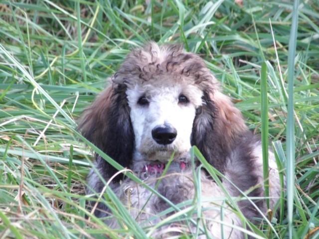harley as pup